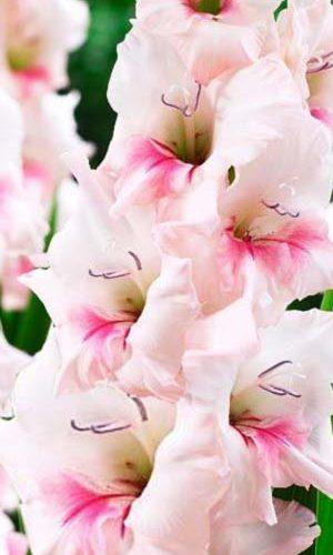 gladiolus-adrenalin