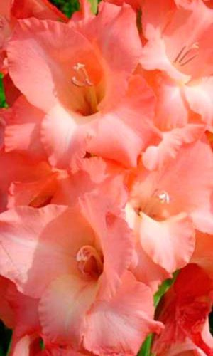 Gladiolus-Dzhessika