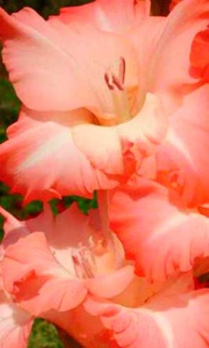Gladiolus-Karma