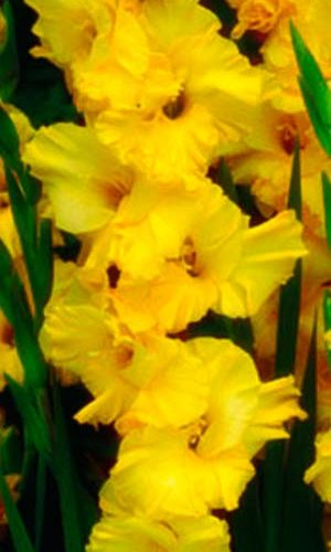 Gladiolus-Lemon-Drop