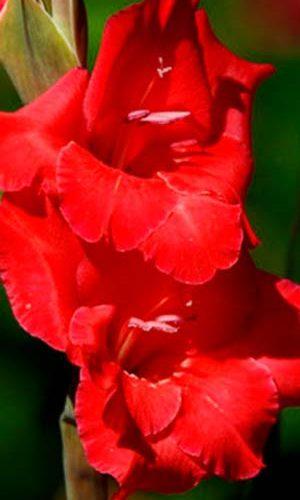 Gladiolus-Re-d-Balans