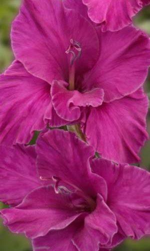 Gladiolus-SHuga-Plam