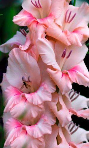 Gladiolus-Tampiko