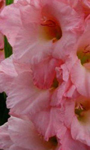 Gladiolus-Vamp