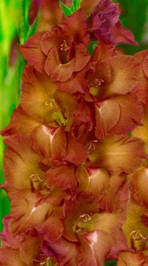 gladiolus-indian-sammer
