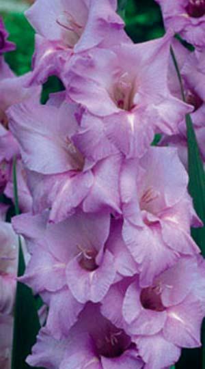 gladiolus-milka