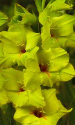 gladiolus-miss-grin