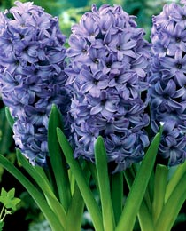 1Hyacinth_Delft-Blue