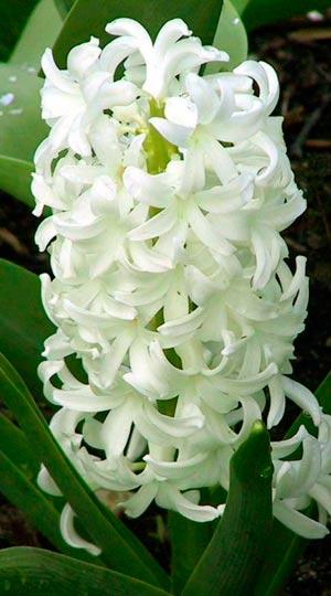 Hyacinth-Ayolos
