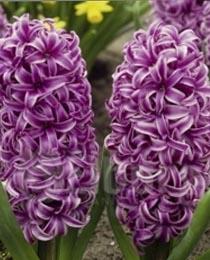 Hyacinth-Amethyst