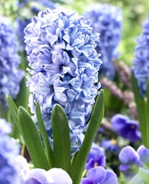 Hyacinth-Blue-Giant