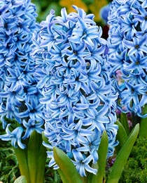 Hyacinth-Blue-Star