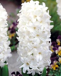 Hyacinth-Carnegie
