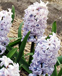 Hyacinth-City-of-Bradford