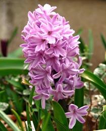 Hyacinth-Splendid-Cornelia