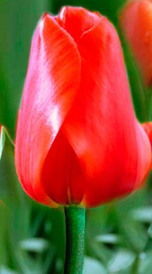 Tulip-Lalibela0025