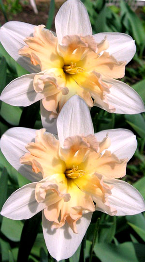 Narcissus-Palmares