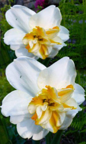 Narcissus-Sorbet
