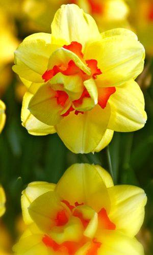 Narcissus-Tahiti