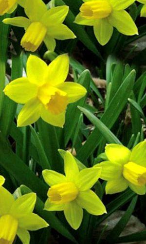 Narcissus-Tete-a-Tete