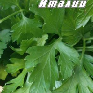Parsley-listovaya-Gigant-Italii