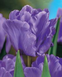 Tulip-Blue-Parrot