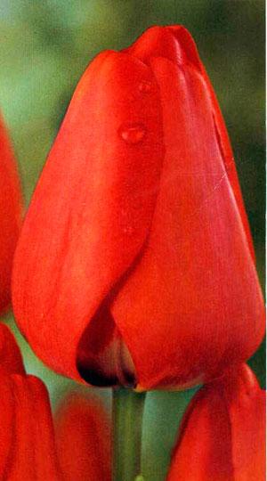 Tulip-APELDOORN