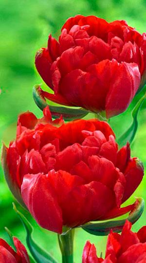 Tulip-Abba