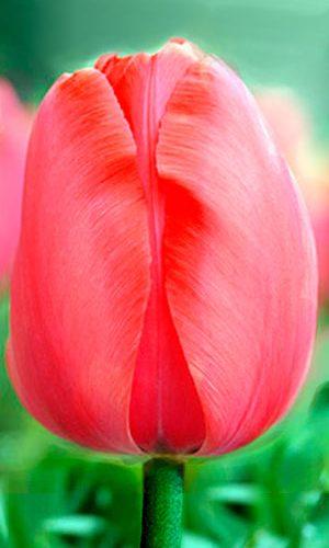 Tulip-Acropolis