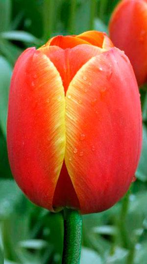 Tulip-Ad-Rem1