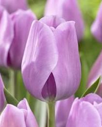 Tulip-Alibi