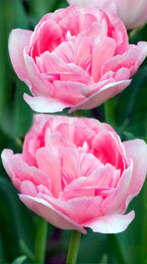 Tulip-Angelique