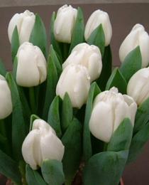 Tulip-Antarctica