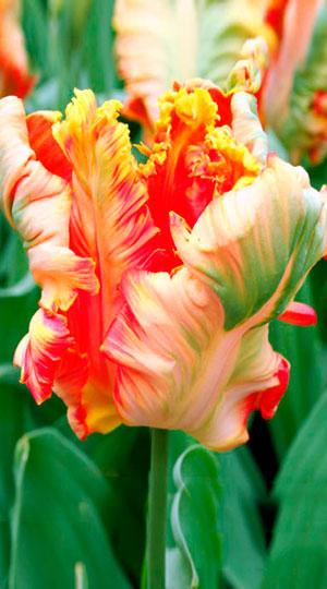 Tulip-Apricot-Parrot1