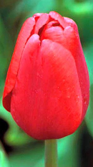 Tulip-Arie-Hoek1