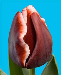 Tulip-Armani