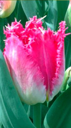 Tulip-Auxerre1