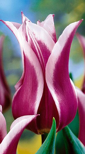 Tulip-Ballada