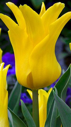 Tulip-Ballade-Gold1