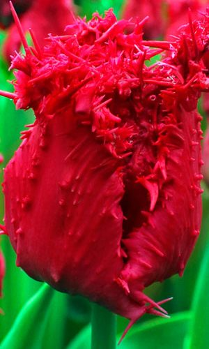 Tulip-Barbados