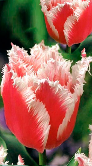Tulip-Bell-Song1