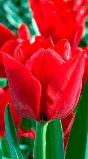 Tulip-Ben-van-Zanten1