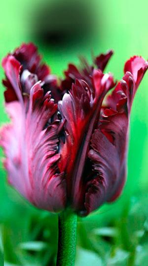 Tulip-Black-Parrot