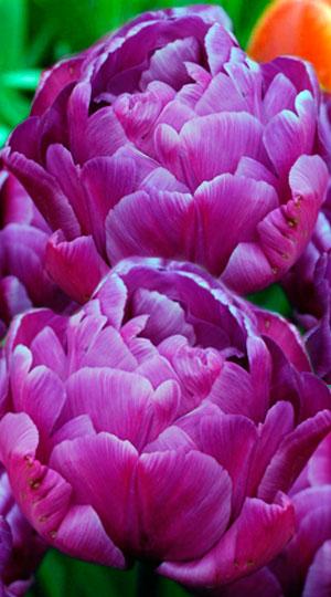Tulip-Blue-Diamond1