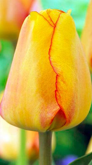 Tulip-Blushing-Apeldoorn