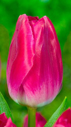Tulip-Bolroyal-Pink1