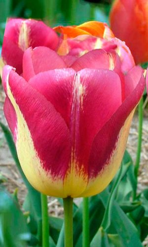 Tulip-Boston1