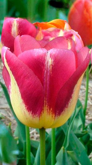 Tulip-Boston1