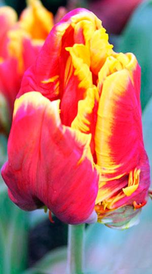Tulip-Bright-Parrot