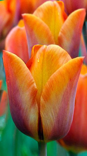 Tulip-Cairo1